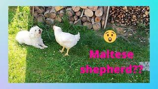 Is maltese dog a shepherd?