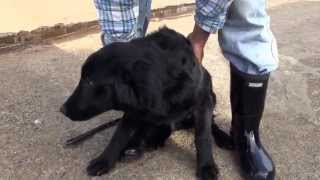 2012年11月生まれ フラットコーテッドレトリバーの子犬 ブラック 女の子...