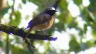 Common Redstart, Hilversum