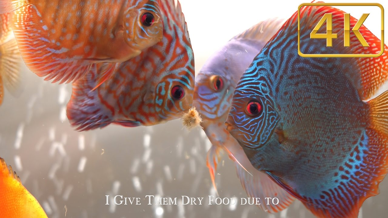 Top 3 foods for discus fish my favorites youtube for Discus fish food