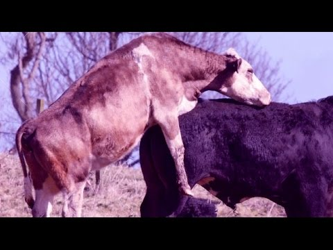 Cow giving massage to a donkey - YouTube