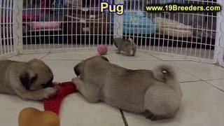 Pug, Puppies, For, Sale, In, Chicago, Illinois, Il, Carol Stream, Streamwood, Plainfield, Crystal La