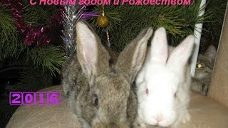 Видео поздравление с Новым годом (кролики рулят!)(Поздравляем всех кролиководов с Новым 2016 годом и Рождеством! Наш блог Всё о кроликах: moy-krolik.ru Советы от..., 2016-01-02T14:20:41.000Z)