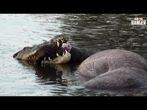 Incredible Strength Of A Crocodile (Introduced By Liaan Lategan)