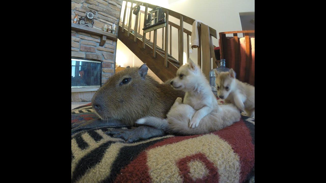 coloring pages capybara as pets - photo#28