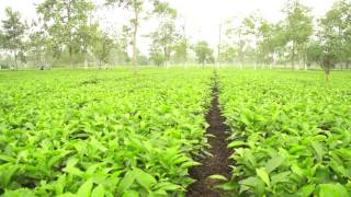 Heritage Tea, Tea Farm, Assam India