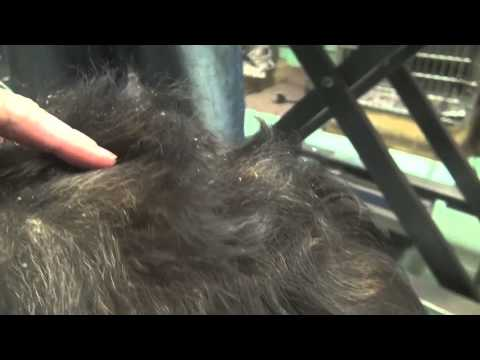 Severe Dandruff In Dogs