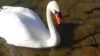 WHITE SWAN AND  ESKEHR39S  LAKE