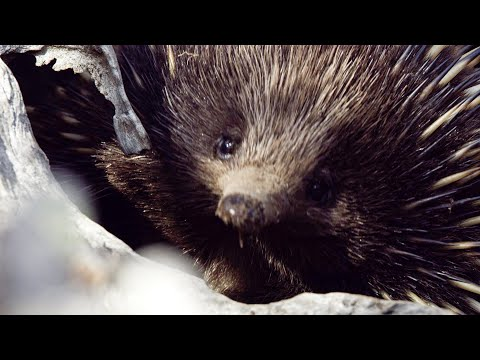 Echidnas are very