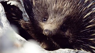 Baixar Echidnas are very lazy lovers | Seven Worlds, One Planet | BBC Earth