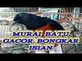 Murai Batu Juara Bongkar Isian Black Jack Murai Juara Batam  Mp3 - Mp4 Download