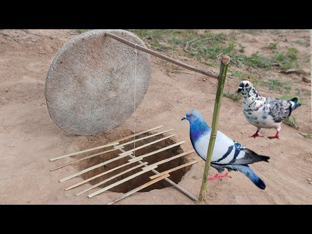 Creative Unique Parrot Bird Trap Using Dead fall Trap Made