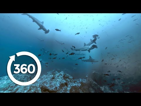 Shark Storm: At Home With Hammerheads (360 Video)
