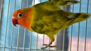 Trik Jitu Mencegah Lovebird Ngeruji (Cara Mencegah Lovebird Ngeruji)