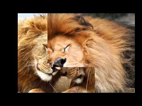 Картинки львов под музыку)