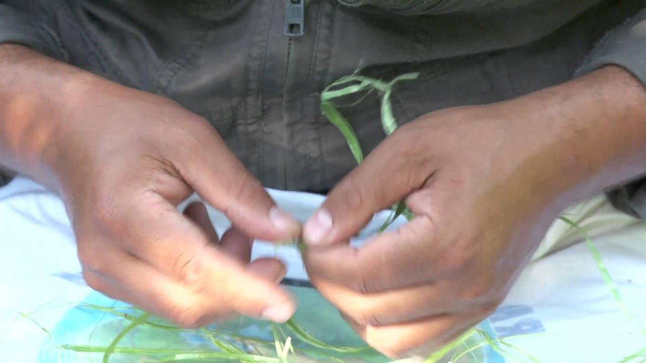 Как затирать коноплю как марихуана помогает от боли в