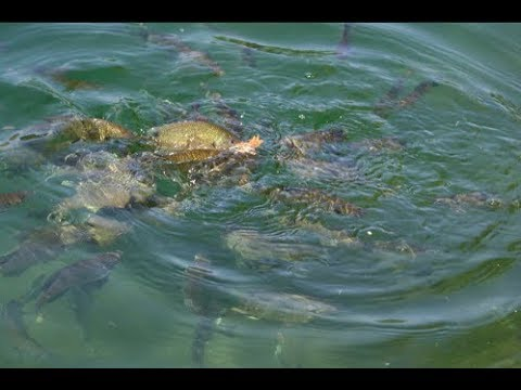 EASY way to catch BIG Bluegill ! Bluegill Fishing at Castaic Lake !