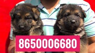 Dehradun Dog 8650006680