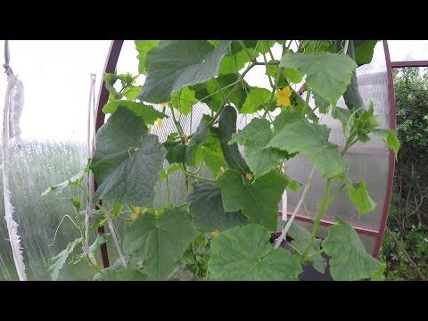 Как поливать помидоры и огурцы в теплице