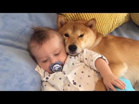 shiba-inu-preciously-cuddles-baby-best-friend
