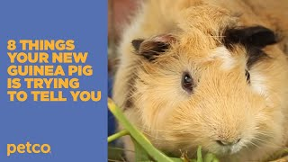 8 Things Your New Guinea Pig is Trying to Tell You: New Pet Tips by Petco