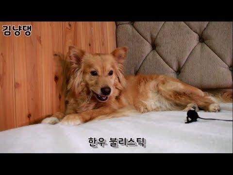 [김냥댕]강아지 한우 불리스틱 먹방! / dog eating show