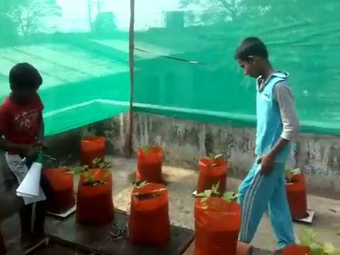 terrace farming of kids (vegetable cultivation in vadavathoor