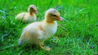 Les animaux de la ferme : le canard