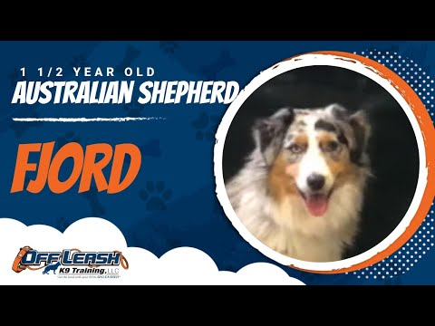 FJORD 1.5 Y/O Australian Shepherd! Best Aussie Dog Trainers in Upstate NY| OLK9