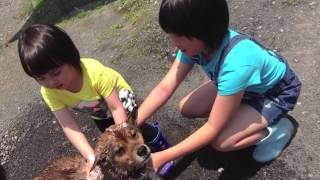 ベアー(犬)のシャワーのお手伝いです。 中々難しそう。。。 This is K...
