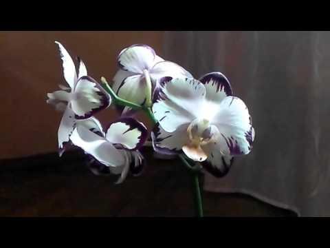 Семена орхидеи. Выращивание Орхидей Фаленопсис из своих семян  дома