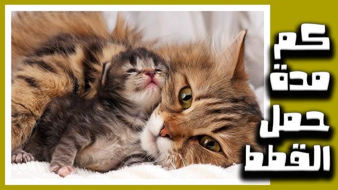 كم مدة حمل القطط الشيرازي Youtube