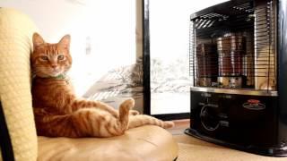 反射式石油ストーブの前の猫2017 Cat to warm by a heater 170116