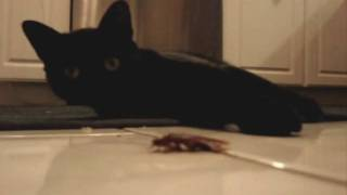 kitty cat with palmetto bug roach.wmv