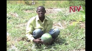 On the farm: Water melon growing
