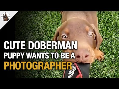 Cute Doberman Puppy wants to be a photographer