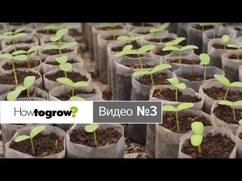 Обрабатываем 10-и дневные всходы рассады огурцов | обрабатываем | выращивать | вирощувати | розсаду | рассаду | рассада | огурцов | рассад | овощи | howtogrow