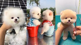 Tik Tok Chó phốc sóc mİni Funny and Cute Pomeranian Videos #2