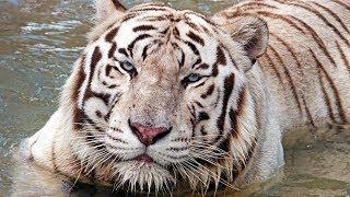 Tanju the White Tiger at Kowiachobee Animal Preserve in Naples, FL