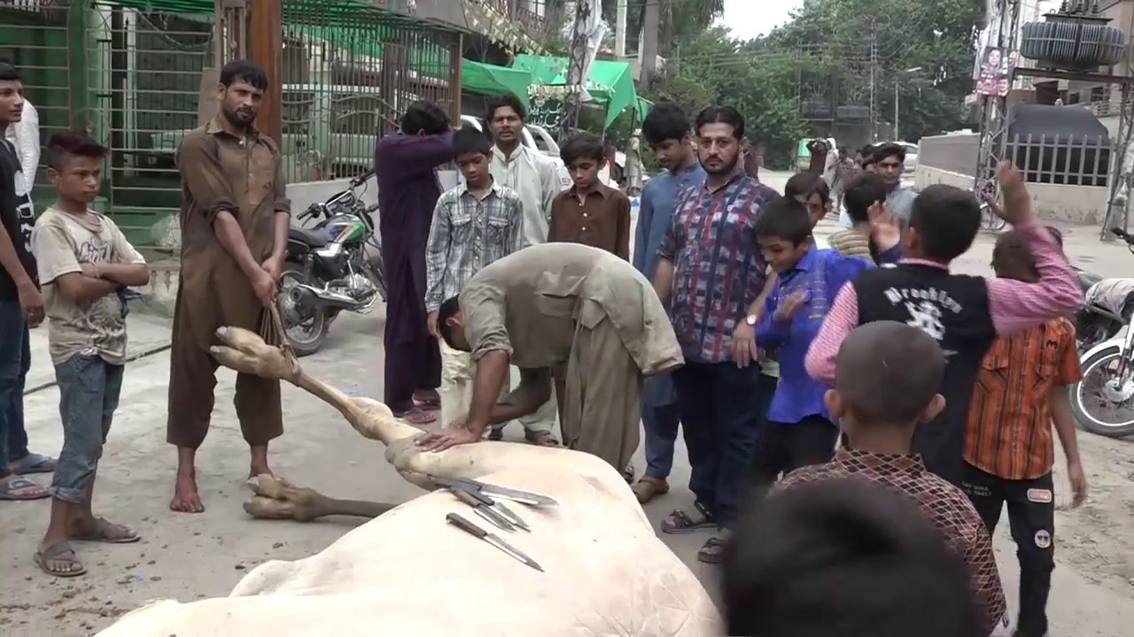 Download Eid Qurbani Dangerous Camel 2018