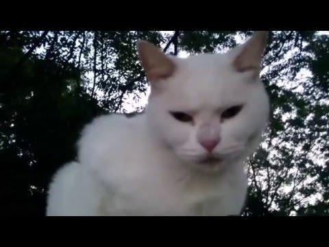 【まるで観客】アコギの練習を聴く白猫《川崎市-登戸》|The white cat and acoustic guitar in Kawasaki