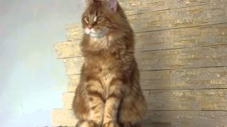 Никанор, кот мейн кун  7 месяцев