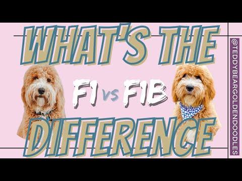 Sherri's VLOG - F1 vs F1b Smeraglia Teddy Bear Goldendoodles