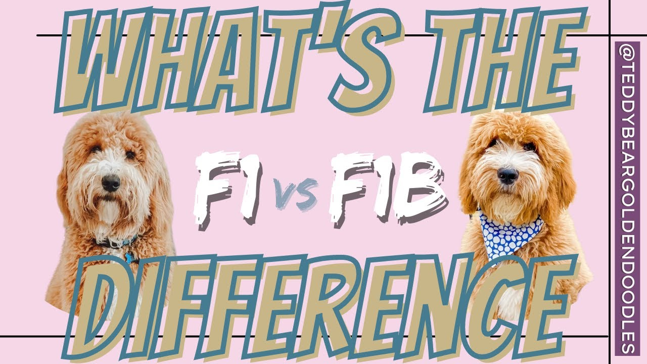 F1 Vs F1b Teddy Bear Goldendoodles What S The Difference Youtube