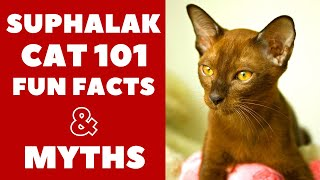Suphalak Cats 101 : Fun Facts & Myths