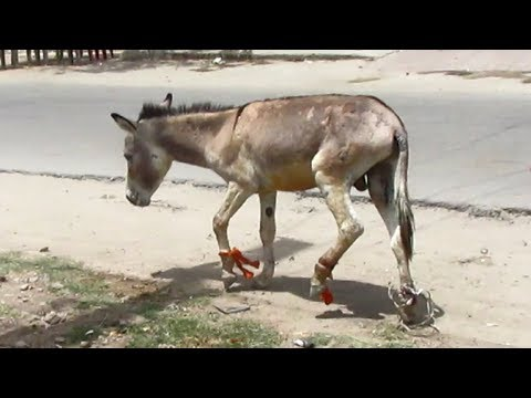 Rescue of donkey victim of cruel owner