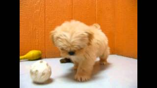 Lhasa Apso, Puppies, For, Sale, In, Philadelphia, Pennsylvania, Pa, Borough, State, Erie, York