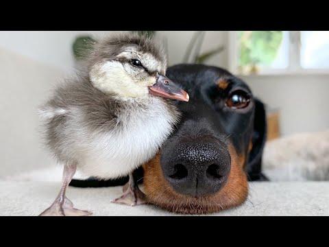 New friend! Dachshund & duckling.