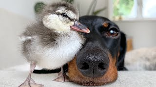 New friend! Dachshund & duckling.