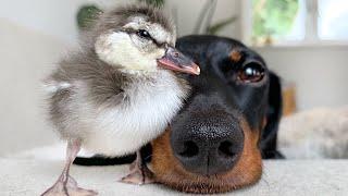 new-friend-dachshund-duckling